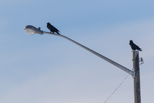 Two ravens on a light fixture.