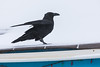 Raven on the roof at Keewaytinok Native Legal Services.