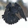Raven in flight, wings folded and pointing down. Snow on beak.