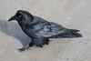 Raven walking on Henry Crescent.