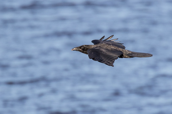 Raven in flight, view from side, wings out.