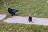 Interaction between raven and toy bird on the ground near eggs. Raven treats toy warily and sometimes uses displacement activities to pretend not interested in the eggs.