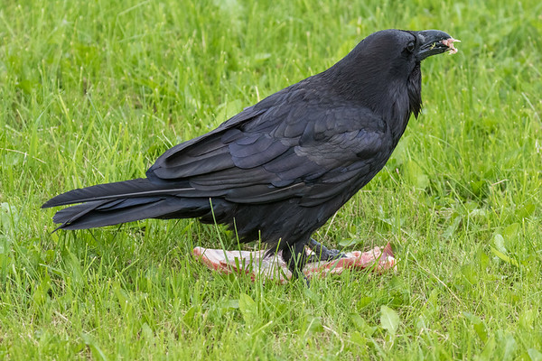 Raven eating a piece of meat.