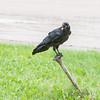 Juvenile raven calling while sitting on water shut off.