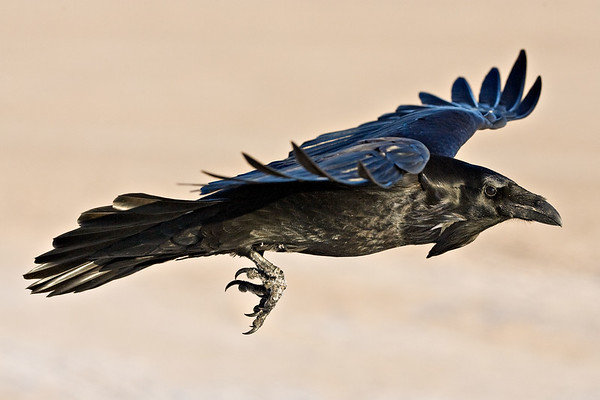 Raven in flight, side view, wings out straight, feet down, part of wing top visible, wing tips up