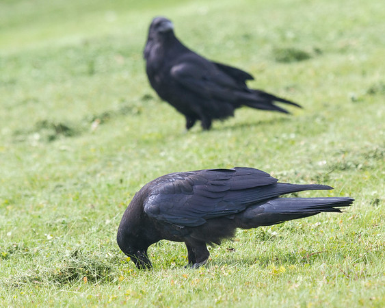 Ravens: juveniles and adult on grass along newly mowed riverbank. Juveniles picking up varous things.