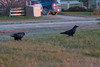 Ravens enjoying breakfast.