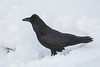 Raven in snow.