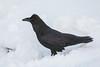 Raven in snow.