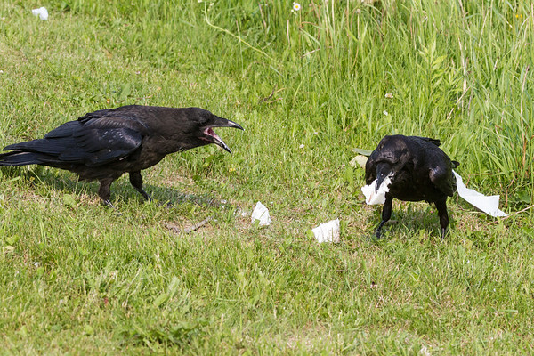Juvenile raven, at left, screeching at adult raven feeding.
