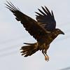 Raven preparing to land.
