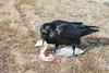 Raven stacking pieces of meat after removing from package.