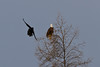 Raven buzzing bald eagle