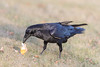 Raven eating an egg on the ground.