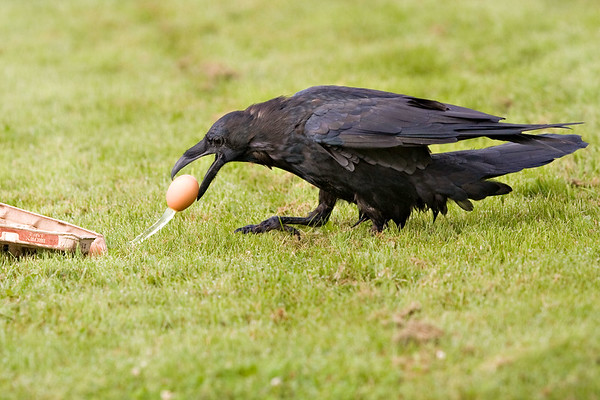 Raven pulling leaky egg out of carton