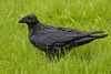 Rain soaked juvenile raven in the grass.