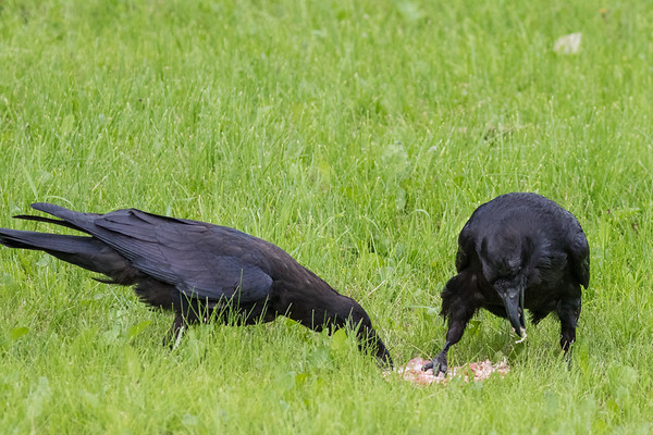 Adult raven at right with foot on piece of meat, juvenile at left trying to get some.