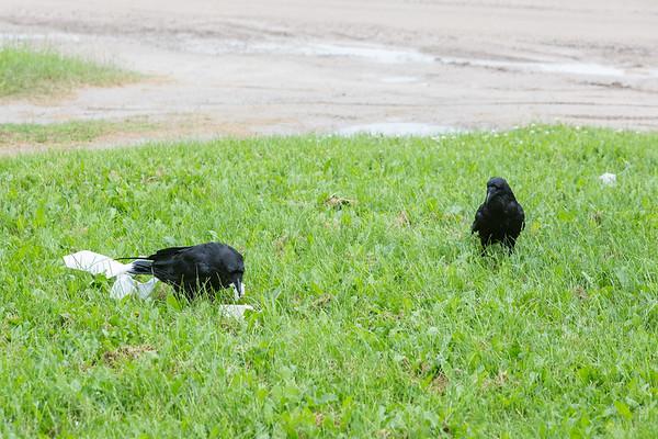 Adult raven feeding while juvenile looks on.