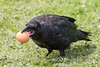 Juvenile raven holding an egg in its beak.