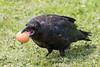 Juvenile raven holding an egg in its beak.