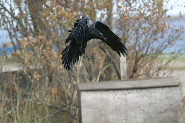 Raven, wings bent, with my garbage box in lower left. Full image