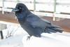 Raven near railway bridge.