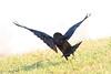 Raven landing, wings up.