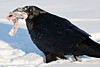Raven with meat in beak