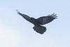 Raven in flight, wings out, tail spread