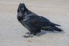 Raven walking on Henry Crescent.