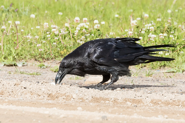 Raven caching lard along the road.