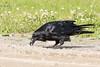 Raven caching lard along the road.