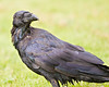 Raven on grass, close up with head turned