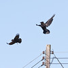 Raven on utility pole being harrrassed by crow(s).