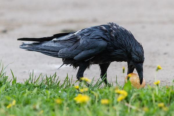 Wet raven with a muffin.