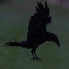 Raven about to land in evening.