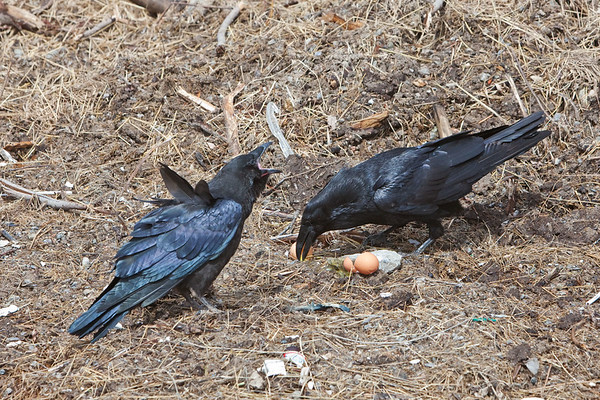 Juvenile raven (left) opens mouth as adult eats eggs. Despite observing the adult, the juvenile did not eat eggs even when the adult had left