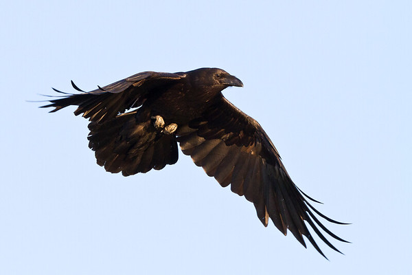 Raven, in flight, wings partially down