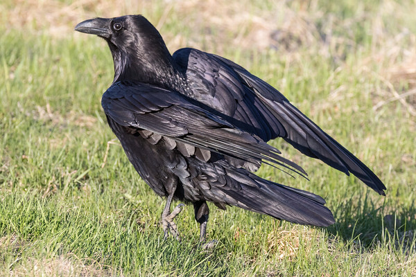 Raven walking, one foot up, wings up and bent.