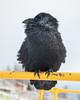 Raven on railing at public docks site.