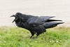 Raven in the grass, beak open calling. Note shafts of feathers exposed.