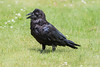 Raven, head feathers chuffed up, in the grass.