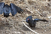 Adult raven flies away with food as juvenile watches