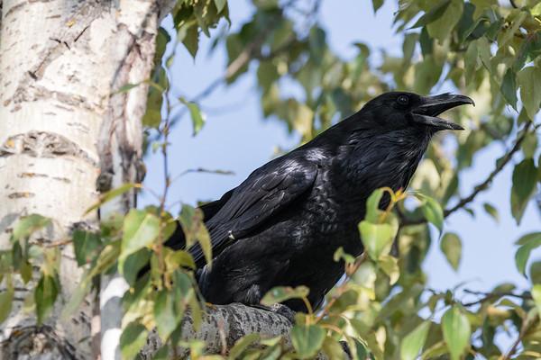 Raven in a tree, beak open, calling.