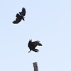 Crow harrassing raven.