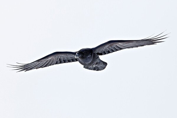 Raven in flight, wings outstretched, view from ahead and to one side<br /> snow on beak