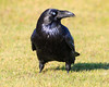 Raven in the grass, head turned, nictating membrane over eye.