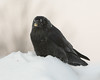 Raven with frost on snow on a cold morning. Egg yolk on beak.