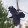 Juvenile raven in flight. Wings out, tail spread, banking.