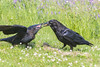 Juvenile raven at left being fed by adult.